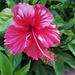 Sunshiny Hibiscus ~