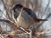 22nd Feb 2019 - male house sparrow profile