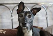 22nd Feb 2019 - Ruby's Ears and Eyes (vintage Pentacon 50mm lens)