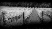 22nd Feb 2019 - vineyard in Tuscany