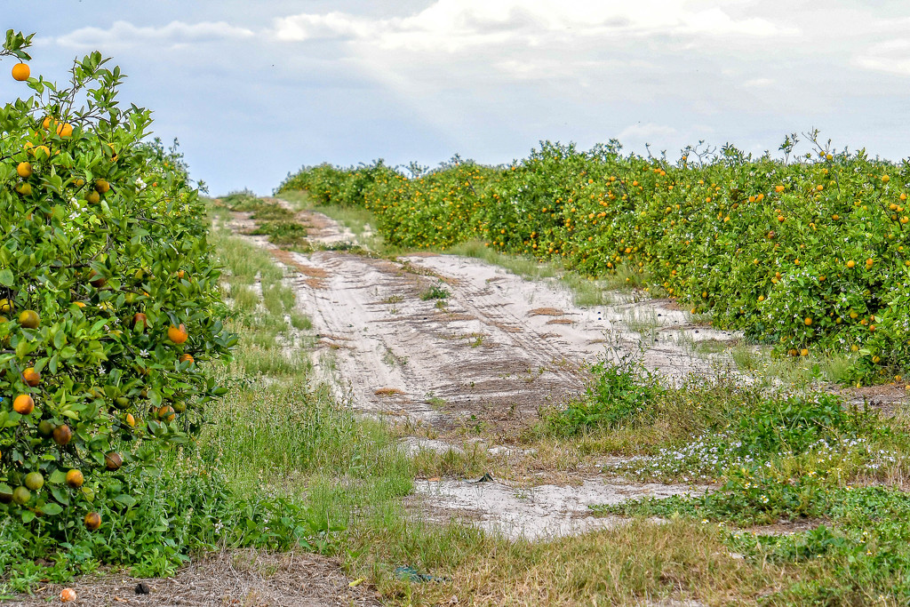 Orange groves by danette