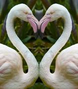 24th Feb 2019 - Flamingo heART