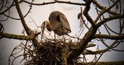 23rd Feb 2019 - Blue Heron Continues to Straighten The Nest!