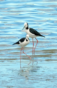 20th Feb 2019 - Pied stilts feeding along the water's edge