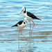 Pied stilts feeding along the water's edge by maureenpp
