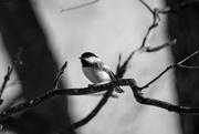 24th Feb 2019 - Chickadee