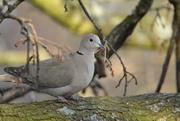 24th Feb 2019 - Collared Dove........