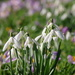 Snowdrops and Crocusses by 30pics4jackiesdiamond