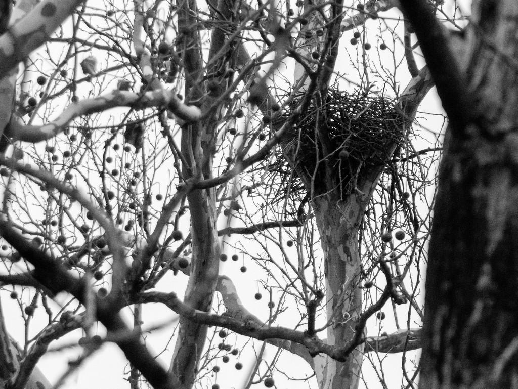 Hawk's nest in black and white by christinemgrote
