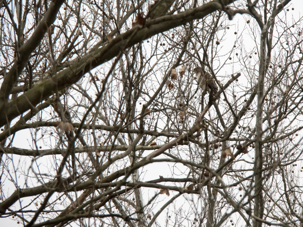 Hawk camoflaged by woods by christinemgrote