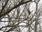 23rd Feb 2019 - Hawk camoflaged by woods