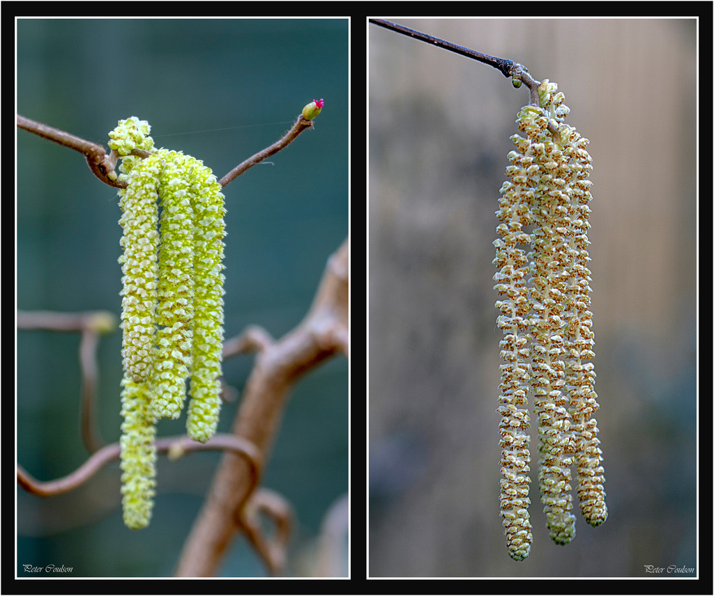Catkins are out by pcoulson