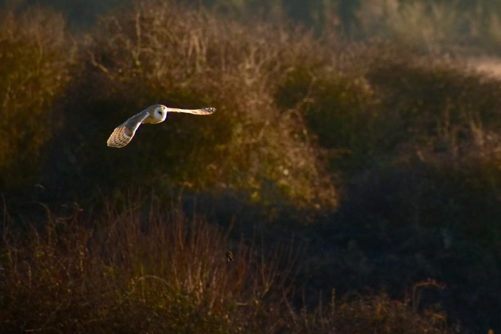Barn Owl by helly31
