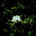 Magnolia by maggiemae
