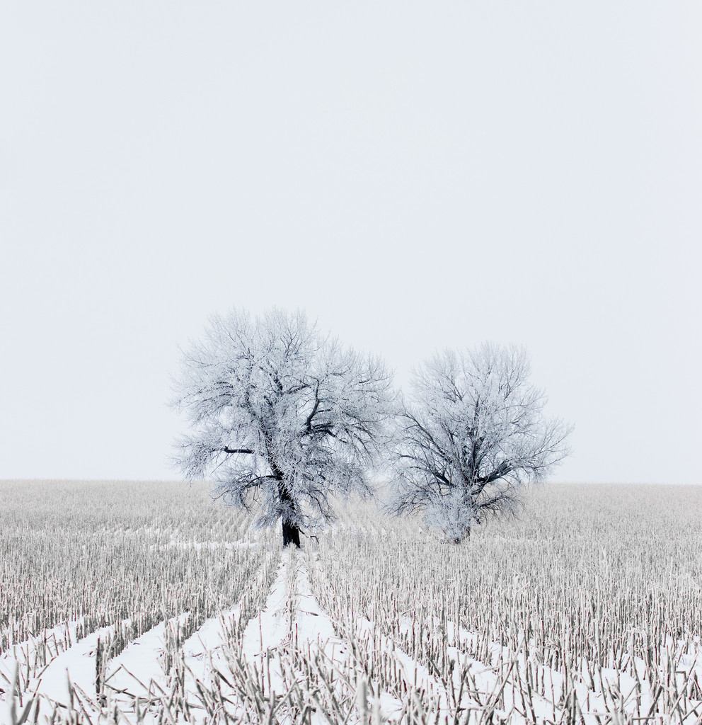 frosted trees by aecasey