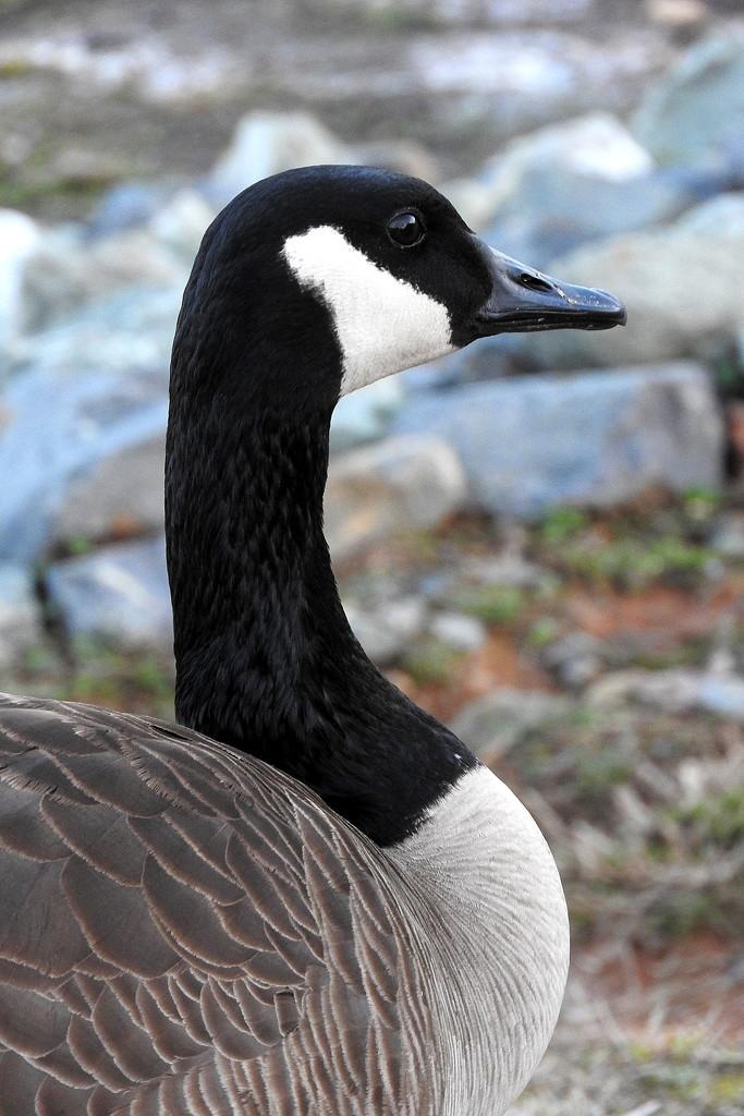 Found a goose! by homeschoolmom