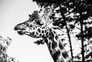 25th Feb 2019 - Giraffe