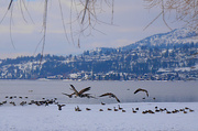 21st Feb 2019 - Geese Gathering