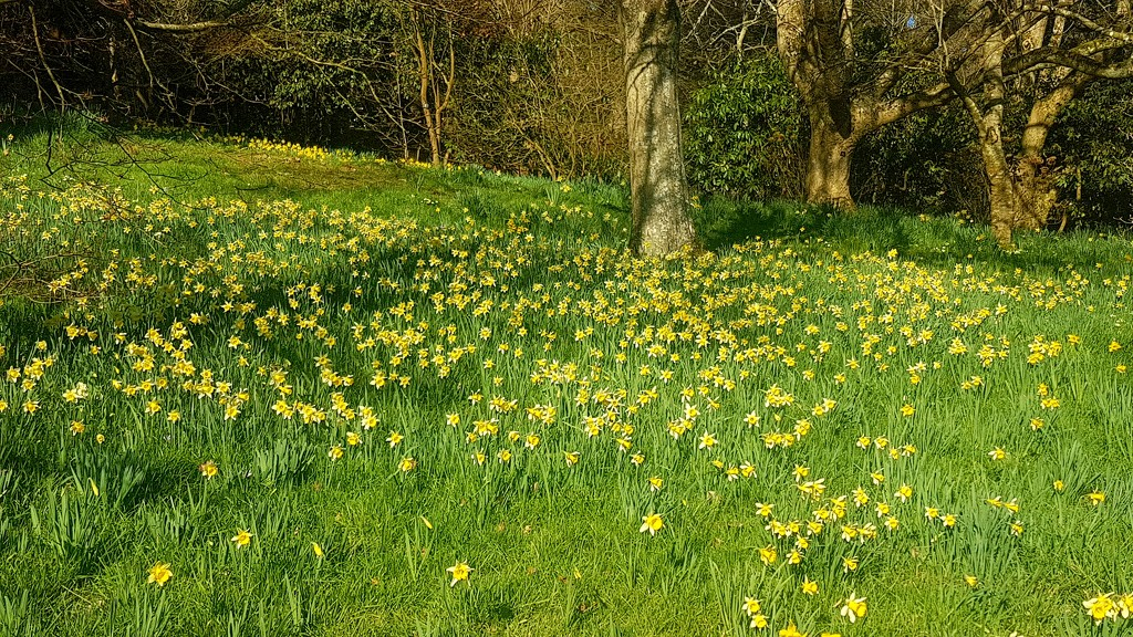 A host of golden daffodils by julienne1
