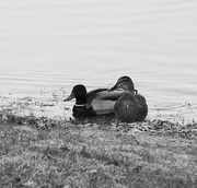 25th Feb 2019 - Contrast 1of 4:  Duck & Drake, Paimpont Lake