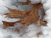 25th Feb 2019 - leaf in snow