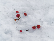 25th Feb 2019 - red berries on snow_DxO