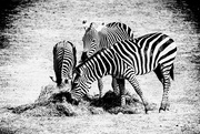 26th Feb 2019 - Zebras