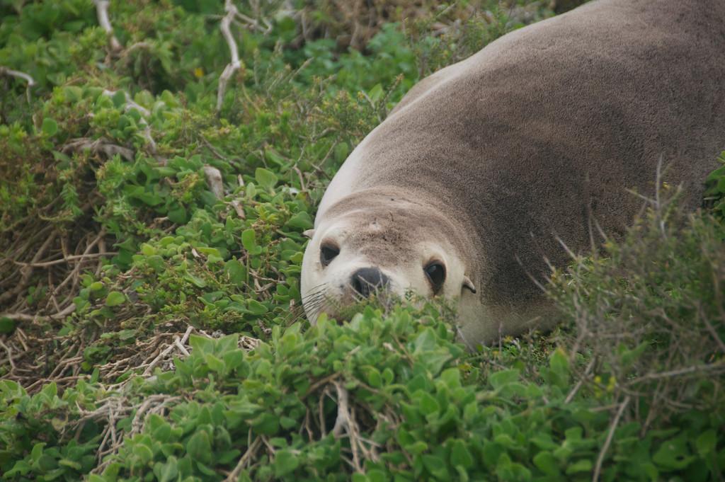 Australian Fur Seal by hrs