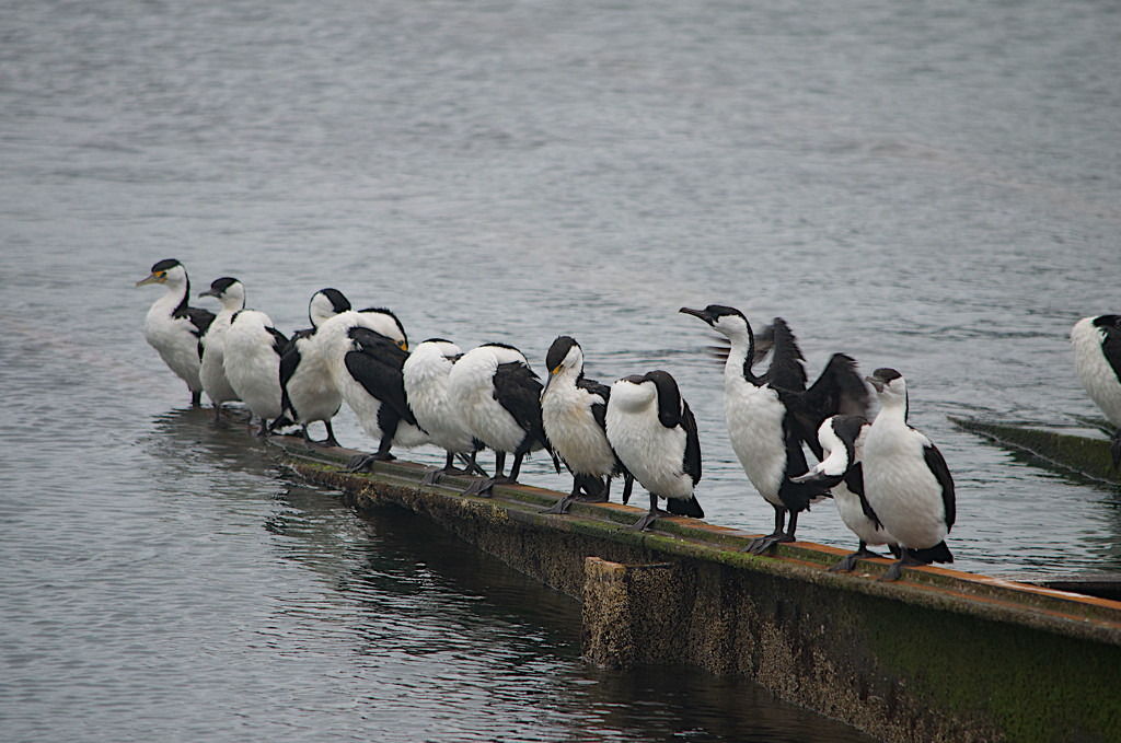 Cormorants at the pier by hrs