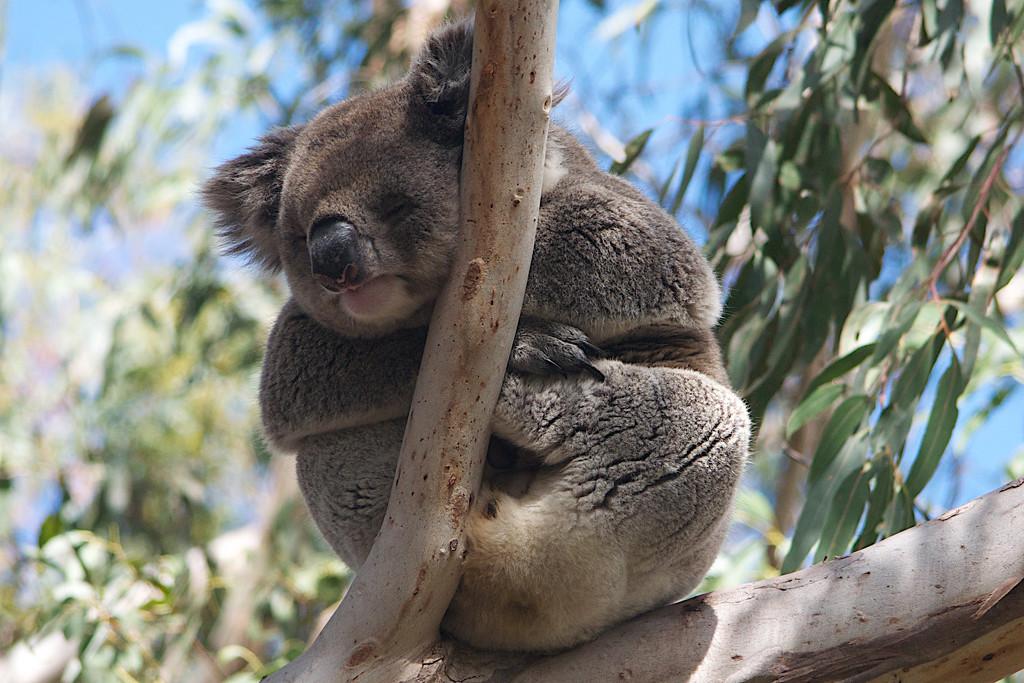 Koala by hrs