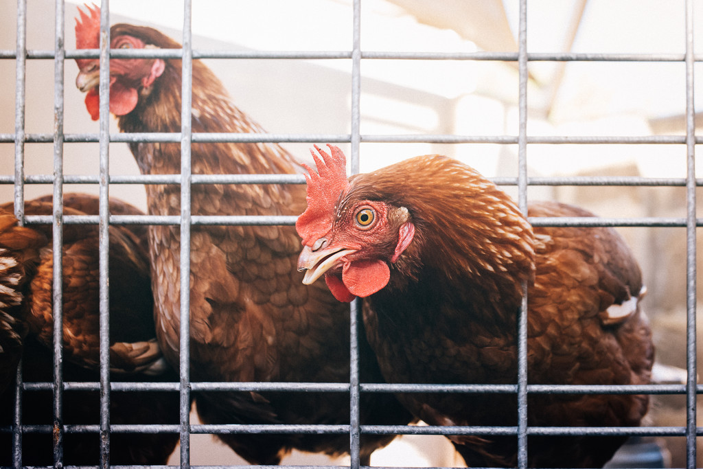 Eve's chooks by jodies