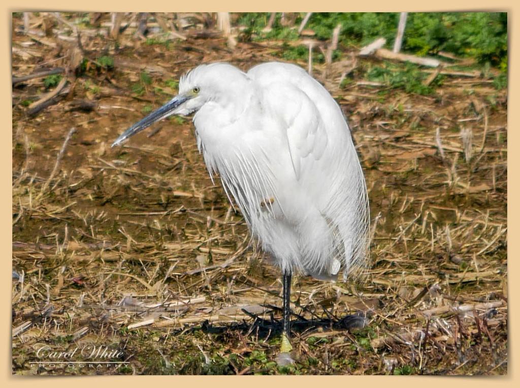 Little Egret by carolmw