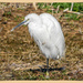 Little Egret by carolmw