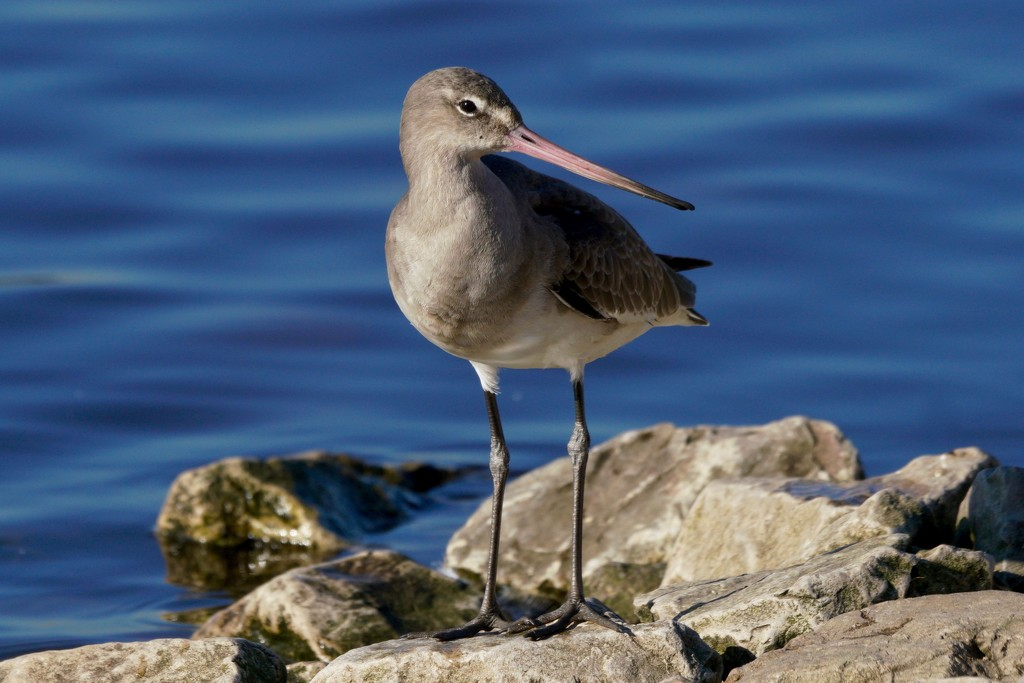 BLACK TAILED GODWIT by markp