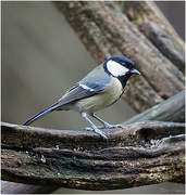 26th Feb 2019 - Great Tit