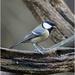 Great Tit  by pcoulson