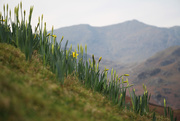 23rd Feb 2019 - daffodil slope