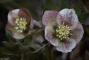 25th Feb 2019 - Lenten Roses
