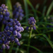 A collection of Hyacinth...