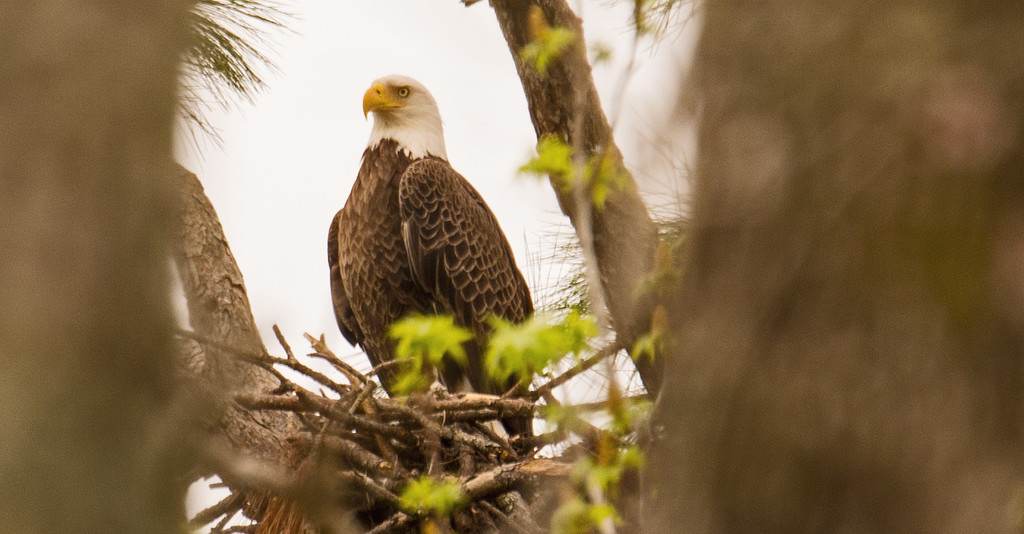 Bald Eagle at the Nest! by rickster549