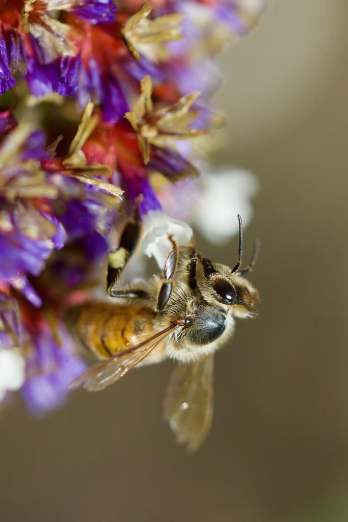 Busy Bee_DSC5240 by merrelyn