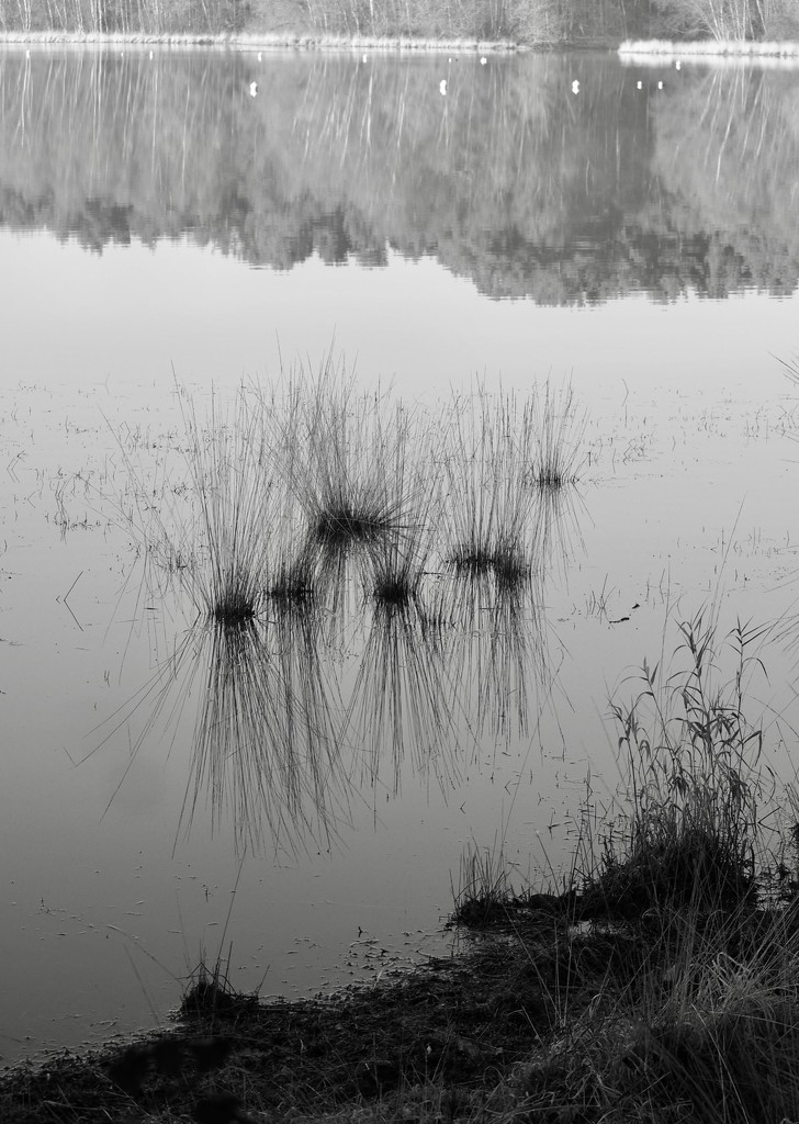 Contrast 3 of 4: Reflections, Reeds & Aquatic Plants!? by s4sayer
