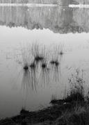 27th Feb 2019 - Contrast 3 of 4: Reflections, Reeds & Aquatic Plants!?