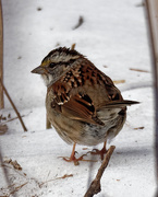 27th Feb 2019 - White-throated sparrow