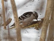 27th Feb 2019 - downy woodpecker ground