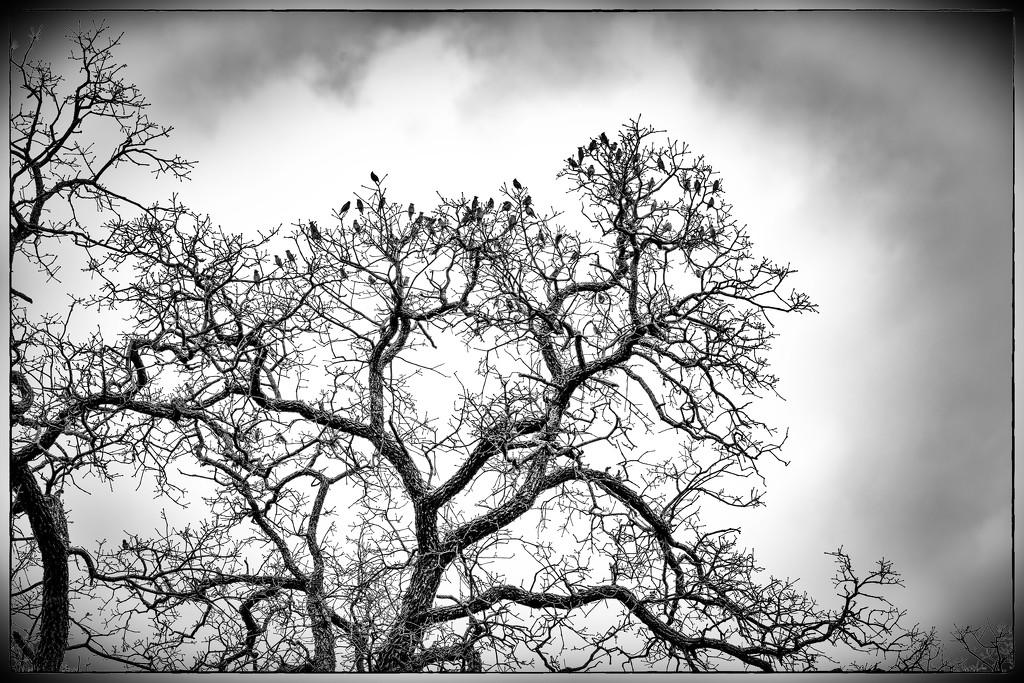 Cedar Wax Wings up in the trees by samae