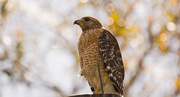 27th Feb 2019 - Red Shouldered Hawk, Scoping Things Out!