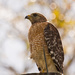 Red Shouldered Hawk, Scoping Things Out! by rickster549