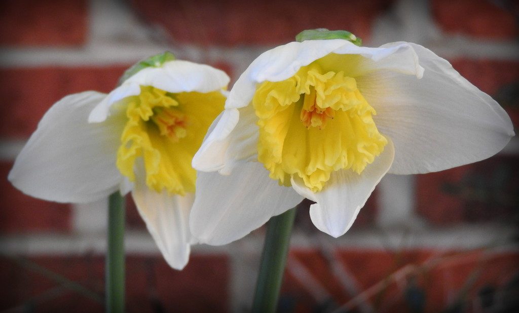 Daffy Twins by homeschoolmom