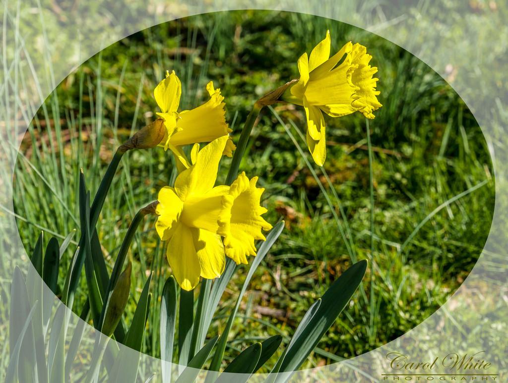 Heralds Of Spring by carolmw